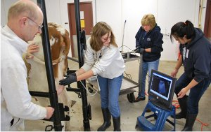 Students palpating a cow.